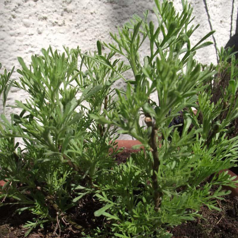 Artemisia abrotanum ssp. procera