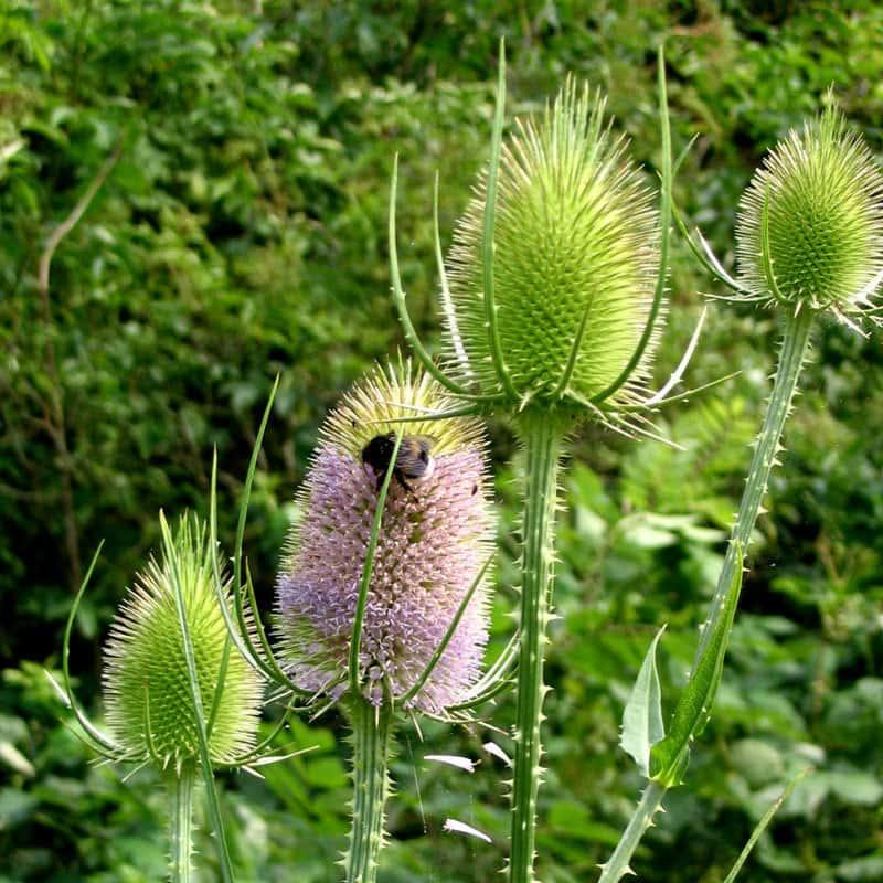 Dipsacus silvestris (fullonum)
